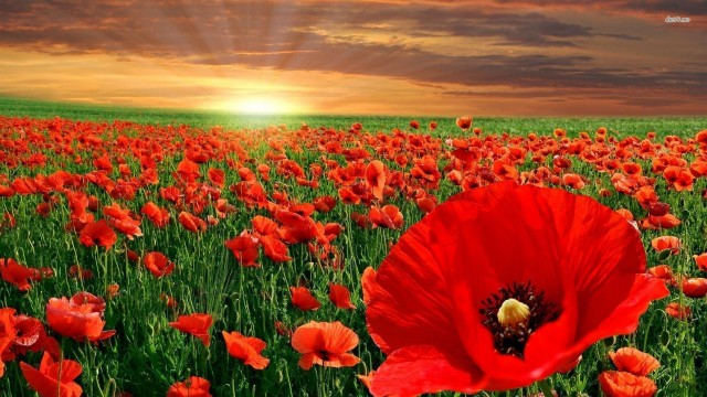picture of a poppy field